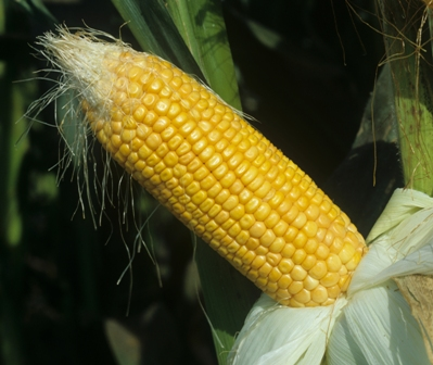 Maize close up cob.jpg