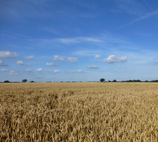 Wheat field blue sky BG.jpg